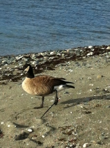 Injured Canada Goose