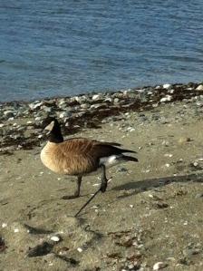 Injured Canada Goose