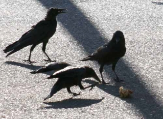 Menacing Crows