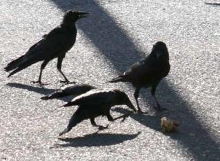 Menacing Crows