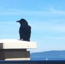 A Victoria Crow